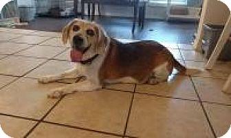 Beagle Dog for adoption in New Smyrna Beach, Florida - Spike