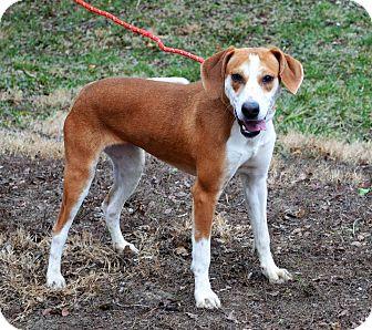 Labrador Retriever/Coonhound Mix Puppy for adoption in Buffalo, New York - Belle