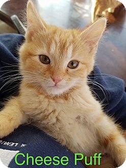 Domestic Shorthair Cat for adoption in Irwin, Pennsylvania - Cheese Puff