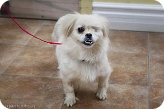 Pekingese Mix Dog for adoption in Rigaud, Quebec - Miley