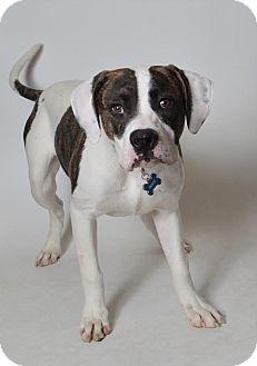 American Bulldog/Pit Bull Terrier Mix Dog for adoption in Fruit Heights, Utah - Duke
