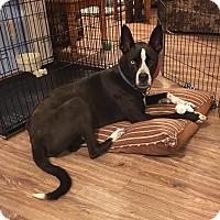 Husky/Border Collie Mix Dog for adoption in Portland, Maine - Kobe