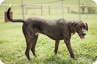 Catahoula Leopard Dog/Weimaraner Mix Dog for adoption in Sweetwater, Tennessee - Jasper R Hall
