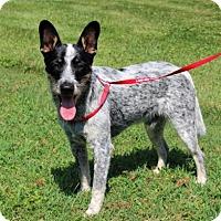 Cattle Dog/Terrier (Unknown Type, Medium) Mix Dog for adoption in Washington, D.C. - PUPPY DEUCE