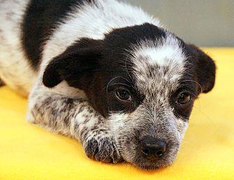 Australian Cattle Dog Mix Puppy for adoption in Maynardville, Tennessee - Yvette