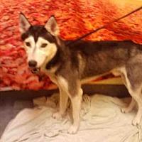 Adopt A Pet :: *TAYLOR - Upper Marlboro, MD