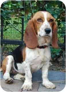 Beagle/Basset Hound Mix Dog for adoption in Palm Bay, Florida - Daphne