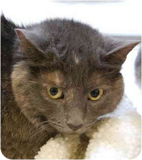 Domestic Shorthair Kitten for adoption in Modesto, California - Layla