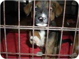 German Shepherd Dog/Corgi Mix Puppy for adoption in McIntosh, New Mexico - Flatts