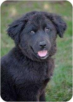 Labrador Retriever Mix Puppy for adoption in Mora, Minnesota - Teddy