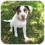 Photo 4 - Beagle/Border Collie Mix Puppy for adoption in Los Angeles, California - Sirus