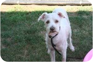Poodle (Miniature) Mix Dog for adoption in Islip, New York - Lucky