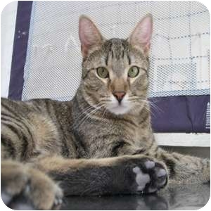 Domestic Shorthair Cat for adoption in Phoenix, Arizona - Billy