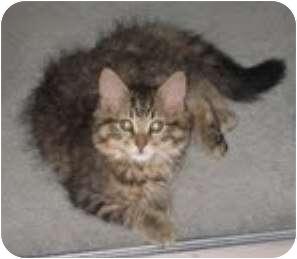 Maine Coon Cat for adoption in Franklin, North Carolina - Bella