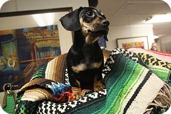 Dachshund Mix Puppy for adoption in Homewood, Alabama - JC