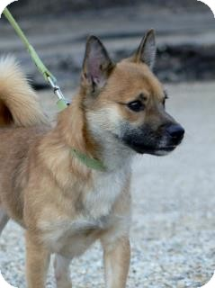 Chihuahua/Pomeranian Mix Dog for adoption in St. James, Missouri - Wally