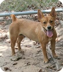 Corgi Mix Dog for adoption in Lufkin, Texas - Dale