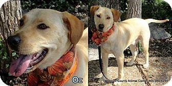 Labrador Retriever Mix Dog for adoption in Hop Bottom, Pennsylvania - Oz
