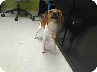 Beagle Mix Puppy for adoption in Antioch, Illinois - Spirit