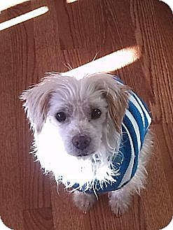 Jack Russell Terrier/Wirehaired Fox Terrier Mix Dog for adoption in Wattertown, Massachusetts - Roscoe