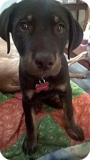Rottweiler/German Shepherd Dog Mix Puppy for adoption in Pierrefonds, Quebec - Theo