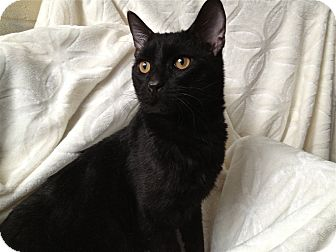 Domestic Shorthair Cat for adoption in South Haven, Michigan - Elf