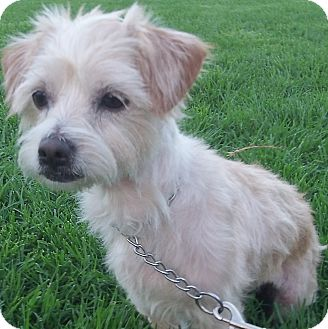 Poodle (Miniature)/Cairn Terrier Mix Dog for adoption in Irvine, California - Angie