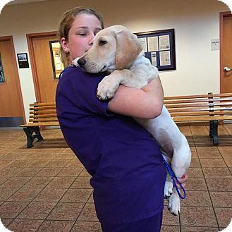 Labrador Retriever/Basset Hound Mix Puppy for adoption in Folsom, Louisiana - Dino