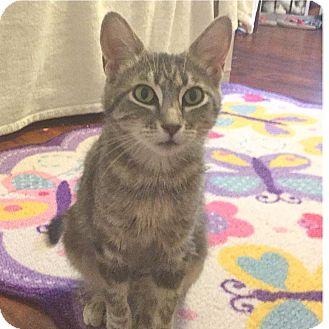 Domestic Shorthair Cat for adoption in Colorado Springs, Colorado - Poundcake