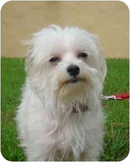 Maltese Dog for adoption in La Costa, California - Sara