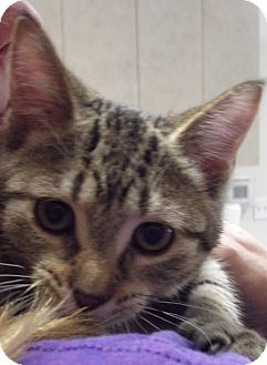 Domestic Shorthair Kitten for adoption in Cheboygan, Michigan - Mirrah