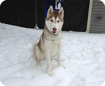 Siberian Husky Dog for adoption in Brookeville, Maryland - Ramses