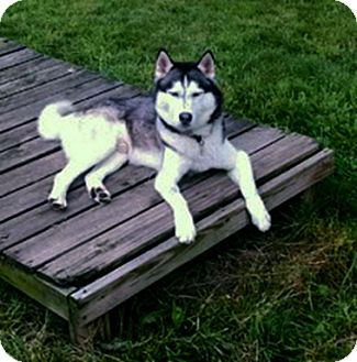 Siberian Husky Mix Dog for adoption in Boyertown, Pennsylvania - Titan