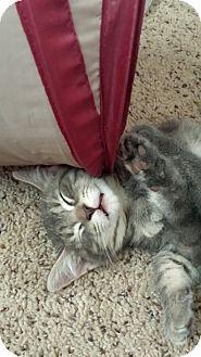 Domestic Shorthair Kitten for adoption in Cedar Springs, Michigan - Cody