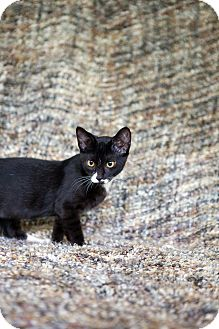 American Shorthair Kitten for adoption in Jacksonville, Florida - Rhett