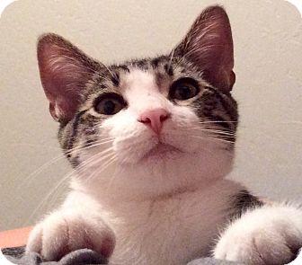 Domestic Mediumhair Cat for adoption in Woodland, California - Mitchell