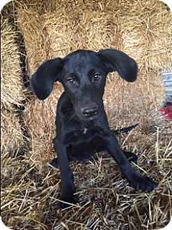 Labrador Retriever Mix Puppy for adoption in Bedminster, New Jersey - Cooper