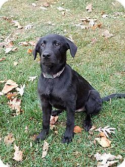 Labrador Retriever Mix Dog for adoption in New Oxford, Pennsylvania - William