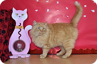 Domestic Longhair Cat for adoption in North Judson, Indiana - Beacher