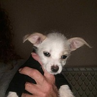 Adopt A Pet :: Savanna - Calimesa, CA
