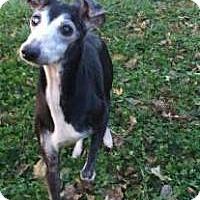 Adopt A Pet :: Brandy - Lincoln, NE