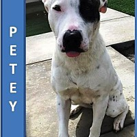 Adopt A Pet :: Petey - Palm Desert, CA