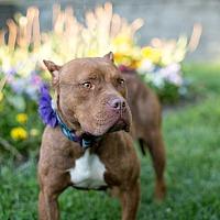 Adopt A Pet :: Ruby - Des Peres, MO