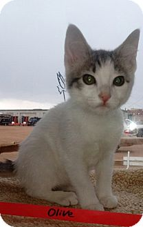 Domestic Shorthair Kitten for adoption in Divide, Colorado - Olive
