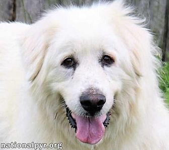 Great Pyrenees Dog for adoption in Beacon, New York - Fluffy