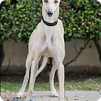 Adopt A Pet :: Gertie - Dallas, TX