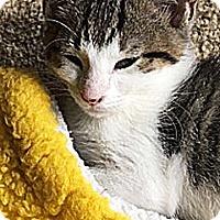 Adopt A Pet :: Karma - N. Billerica, MA