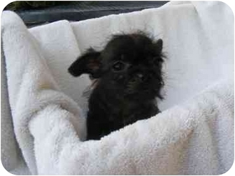 Yorkie, Yorkshire Terrier/Pug Mix Puppy for adoption in Rochester, New Hampshire - Baby GiGi
