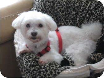 Maltese/Poodle (Miniature) Mix Dog for adoption in Middle Village, New York - SPARKY