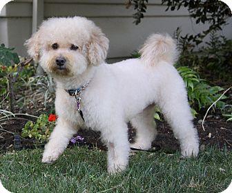 Bichon Frise/Poodle (Miniature) Mix Dog for adoption in Newport Beach, California - ROMAN